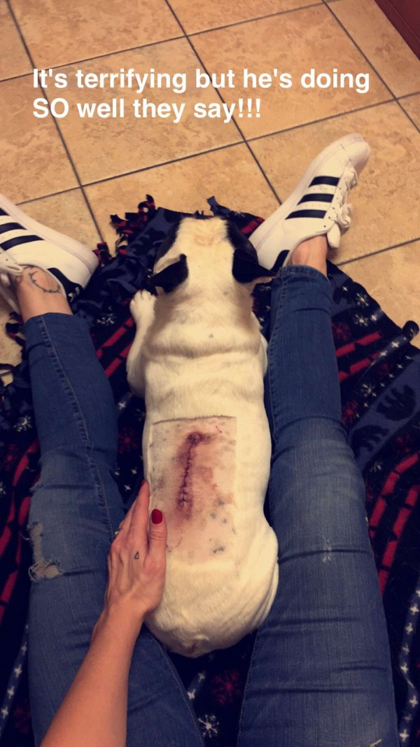 French bulldog / back surgery / ruptured disc