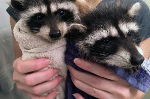 Dogwood Tavern // Our Rescued Baby Raccoon Friends