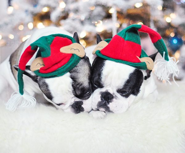 christmas-dogs_french-bulldogs_trevor-and-randy-elf-hats-3-1