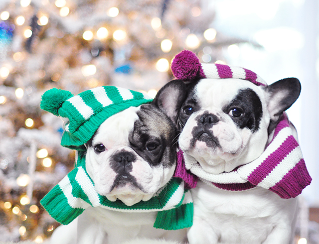 Christmas dogs in christmas striped sweaters_1