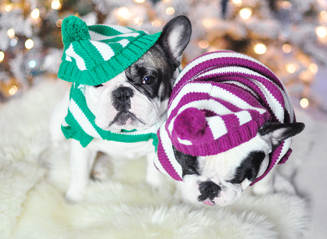 Christmas dogs in christmas striped sweaters_3