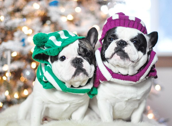 Christmas dogs in christmas striped sweaters_5