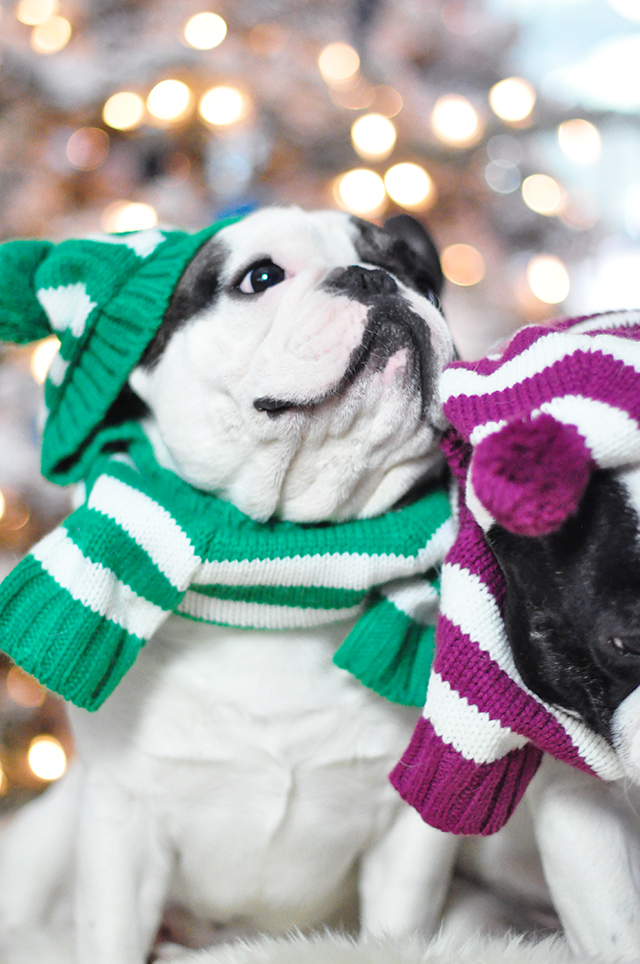 Christmas dogs in christmas striped sweaters_6