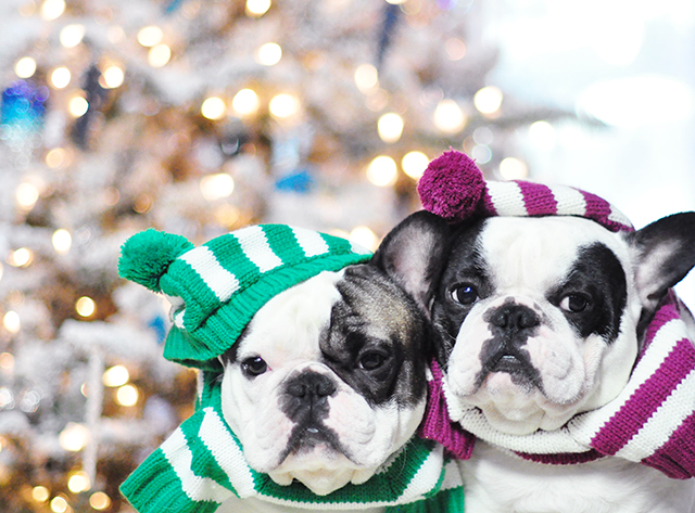 Christmas dogs in christmas striped sweaters_7