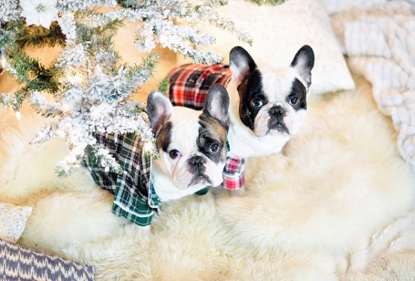 christmas-frenchies-under-the-tree