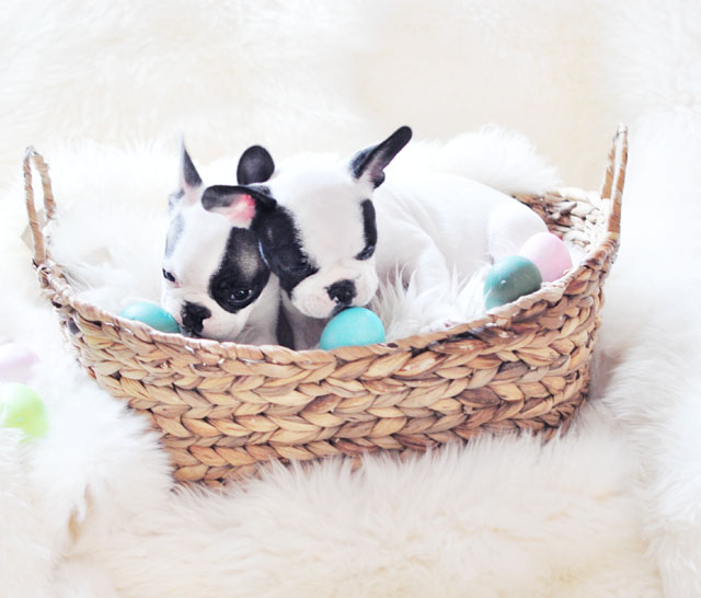Frenchie Puppies on Easter