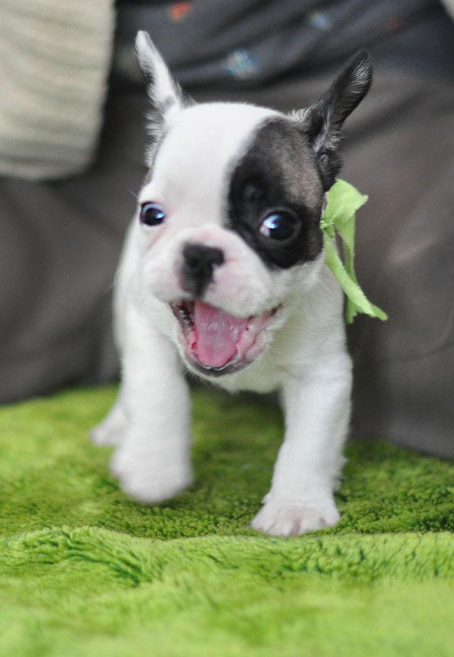Frenchie Puppy-Randy