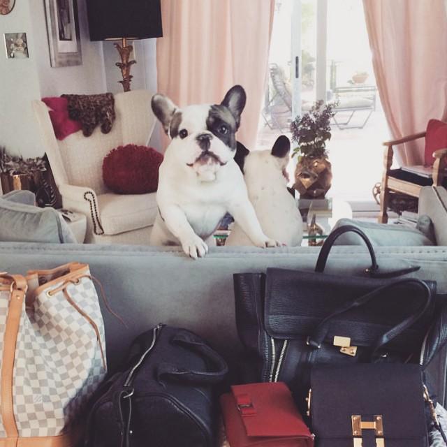 Frenchie + handbags