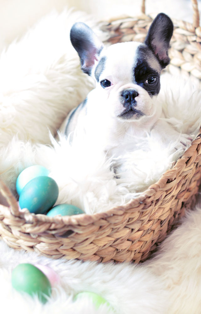 Frenchie puppy in easter basket