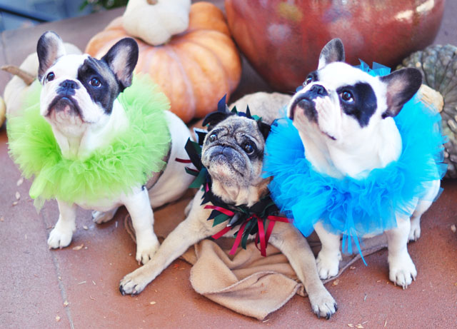 Halloween Dogs- Frenchies and a Pug
