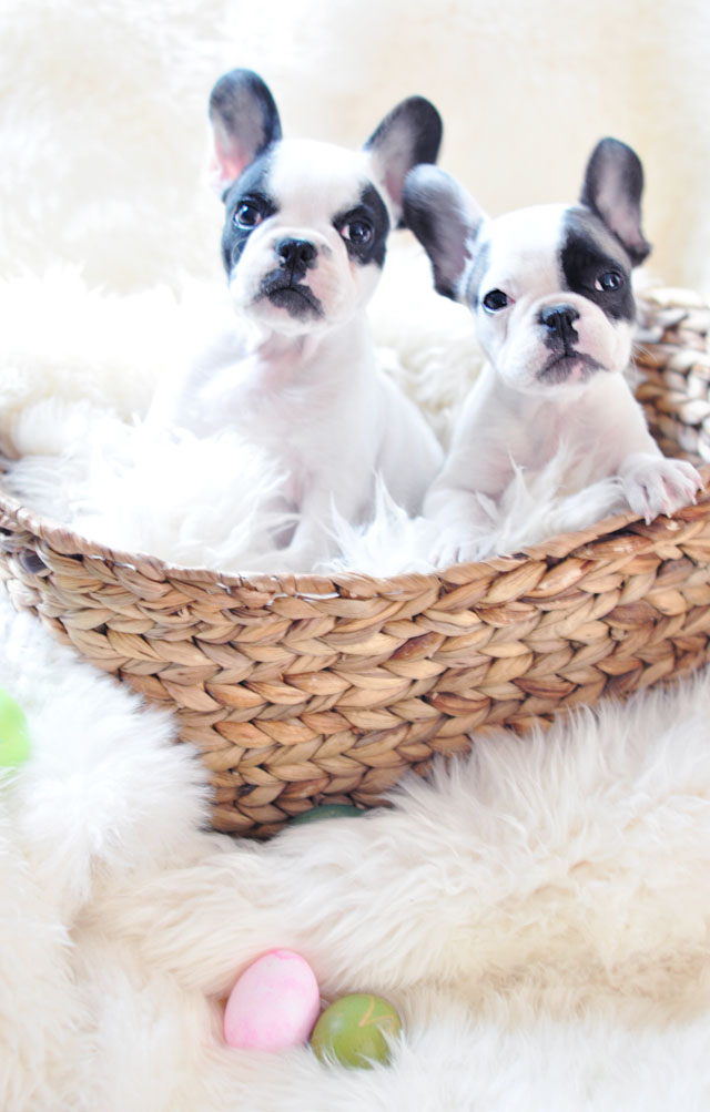 Happy Easter Frenchie Pups+basket