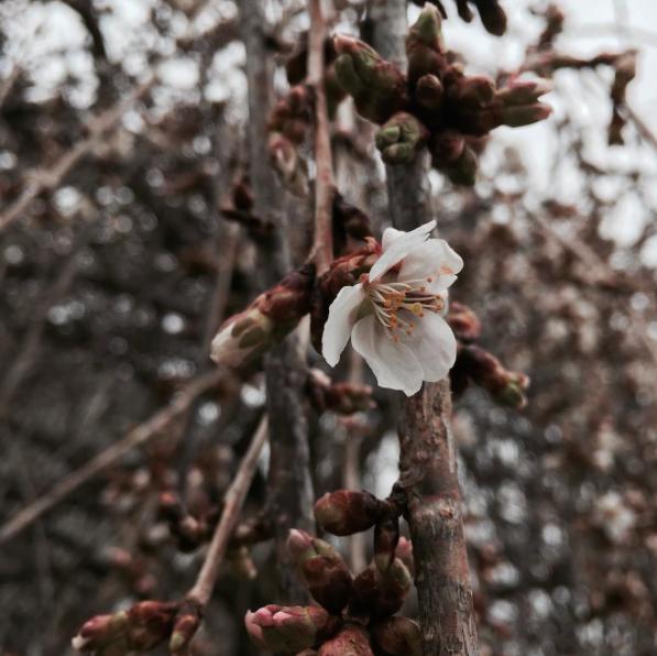 cherry blossom bloom