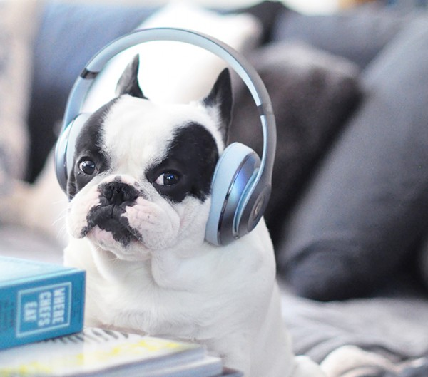 Trevor_Beats by Dre_headphones on a dog series-8