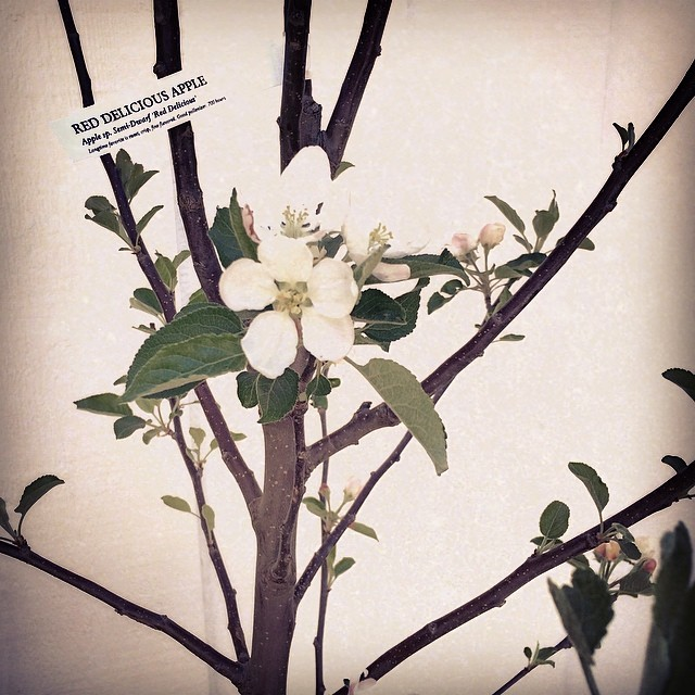 apple tree blooming for leroy