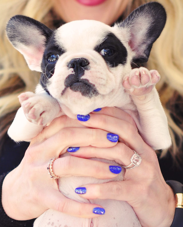 blue nails + frenchie pup