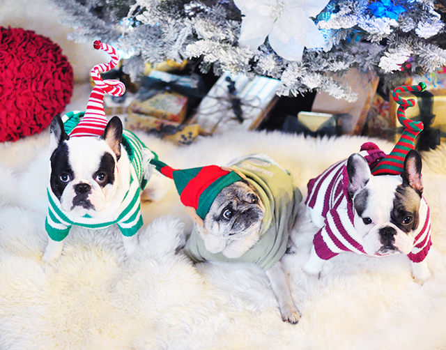 christmas-dogs-frenchies-and-a-pug