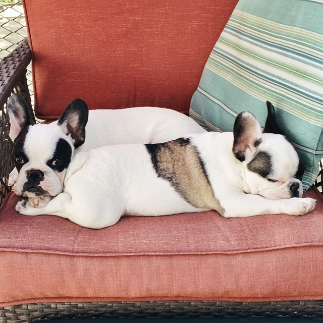 cute frenchie puppies