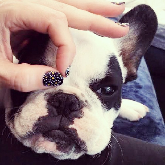 daisy nails on frenchie face