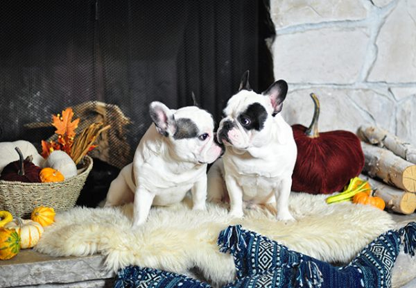 festive-french-bulldog-brothers