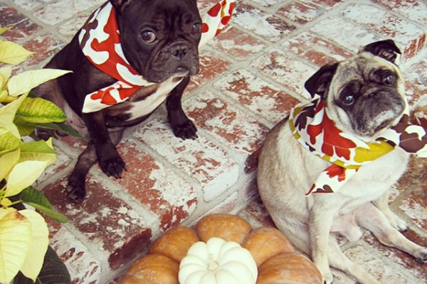 french bulldog and pug festive for fall