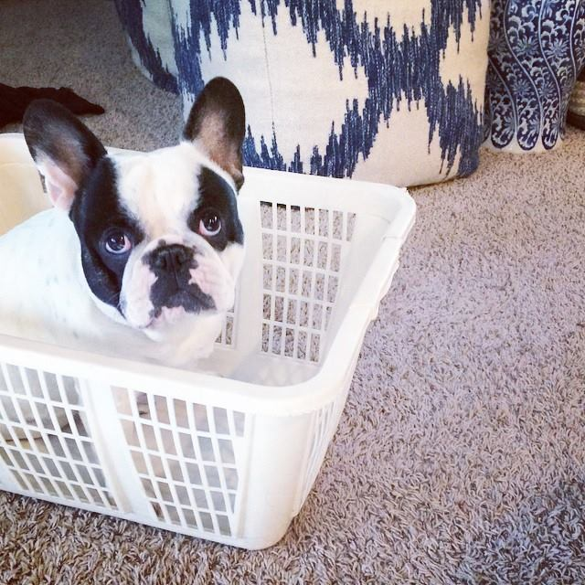 french bulldog in a laundry basket