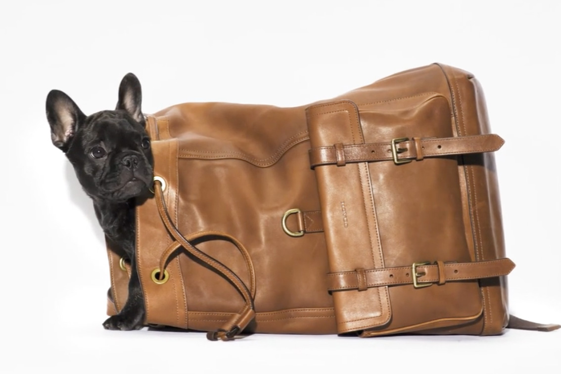 french bulldog in coach backpack