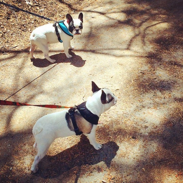 french bulldogs on a walk
