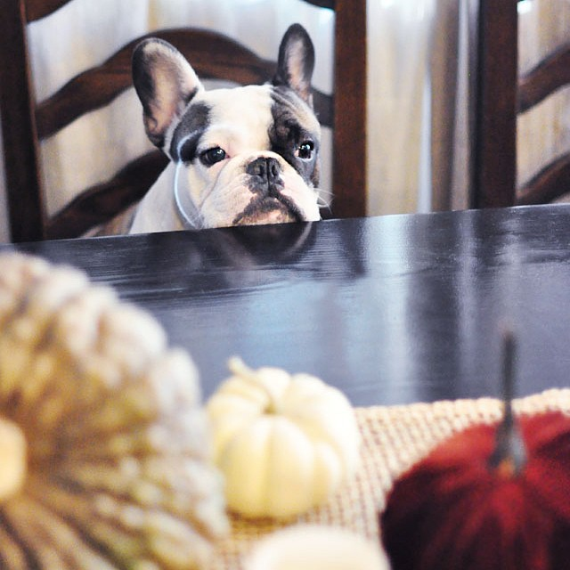 frenchie at the table