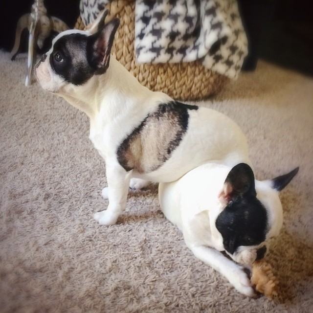frenchie brothers sitting on each other