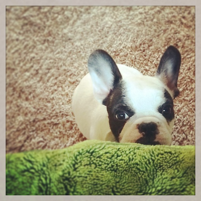 frenchie bunny head