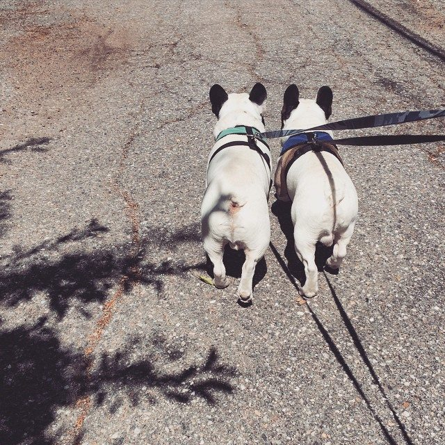 frenchie dog butts