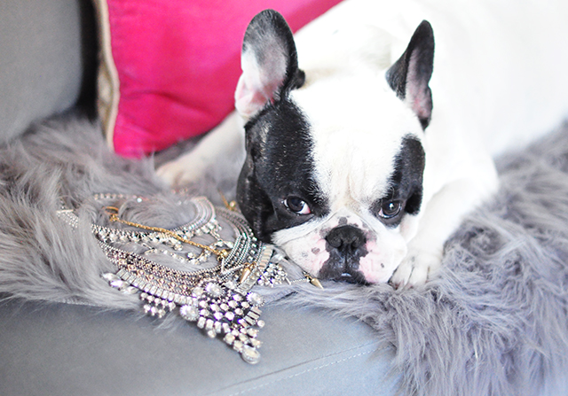 frenchie posing with necklaces