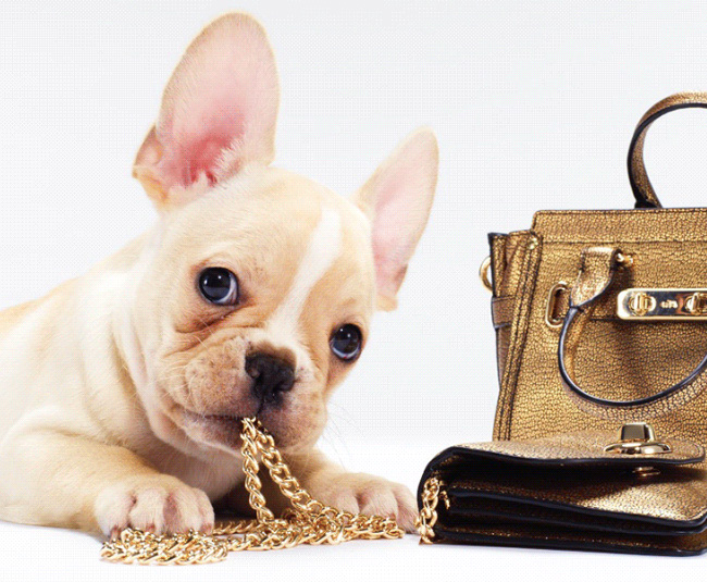frenchie pup chewing on handbag chain