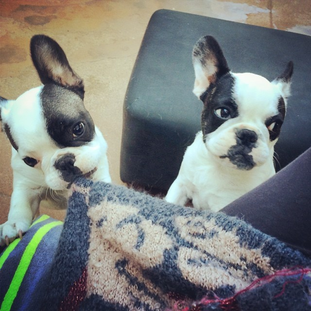 funny frenchie puppies