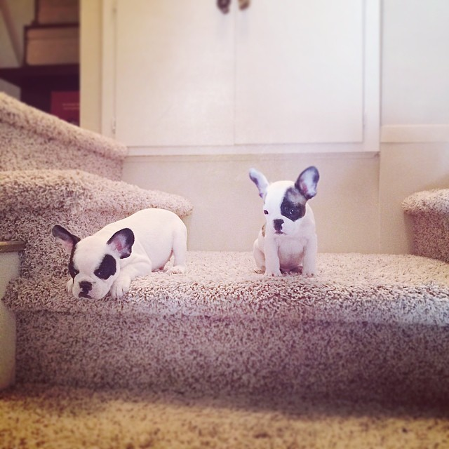 little puppies on big stairs