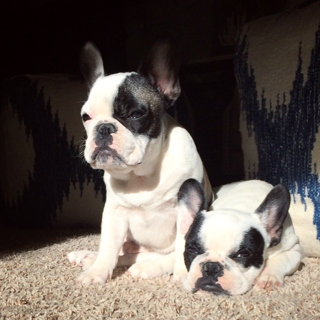 mean muggin frenchies