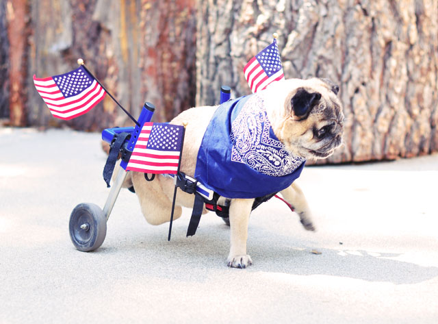 patirotic pug in festive usa wheels