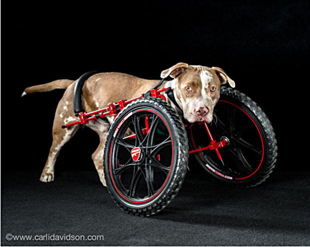 pets in wheels-1