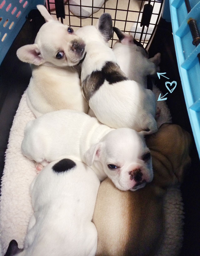 pied and white frenchie puppies
