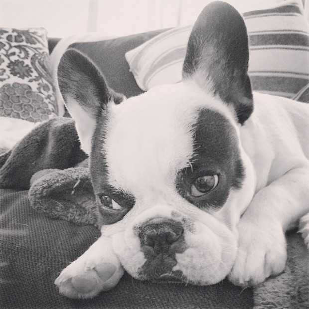 pied frenchie