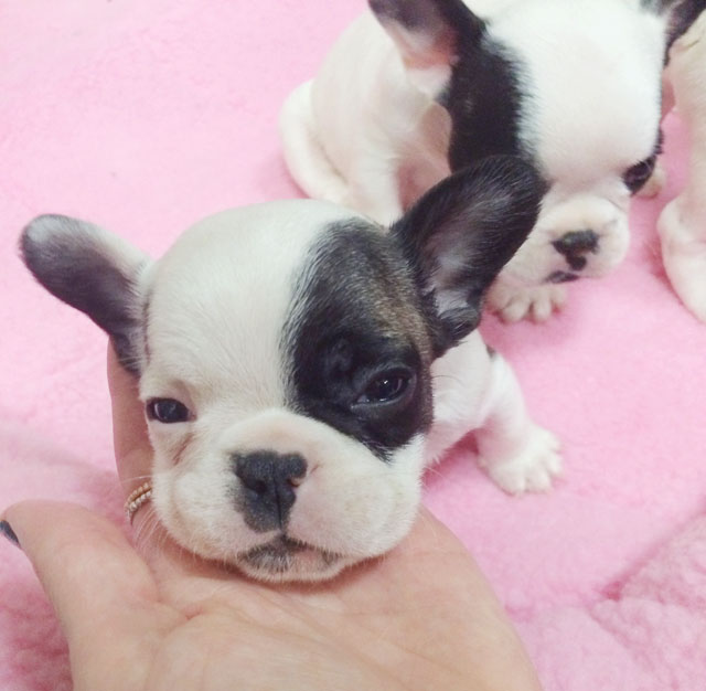 puppies-pied frenchies-6 weeks old-4