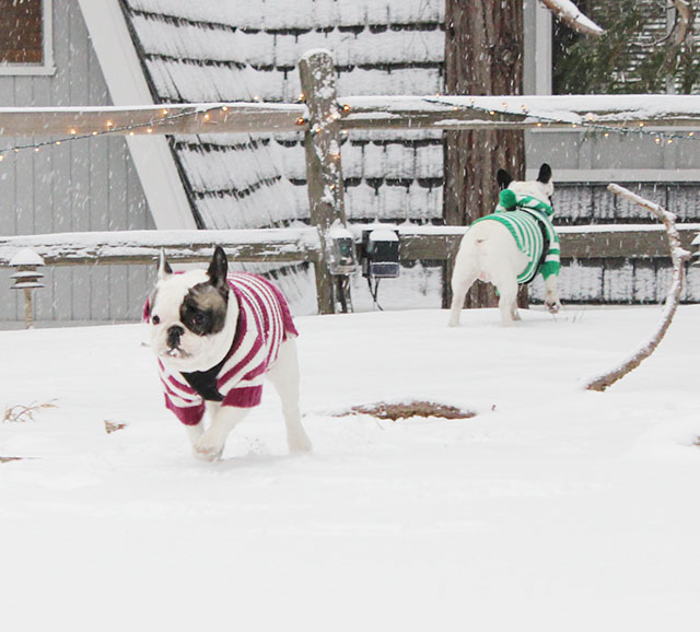 snow frenchies
