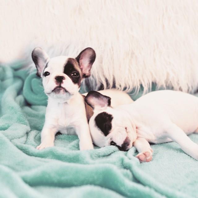 tiny frenchie baby french bulldog puppies