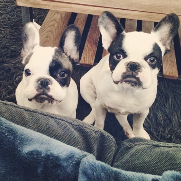 two frenchie brothers