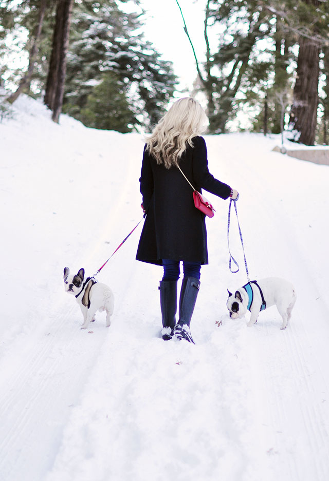 walking the dogs in the snow -french bulldogs