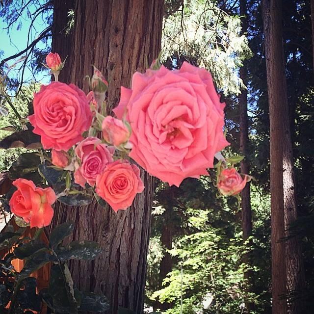woodland roses